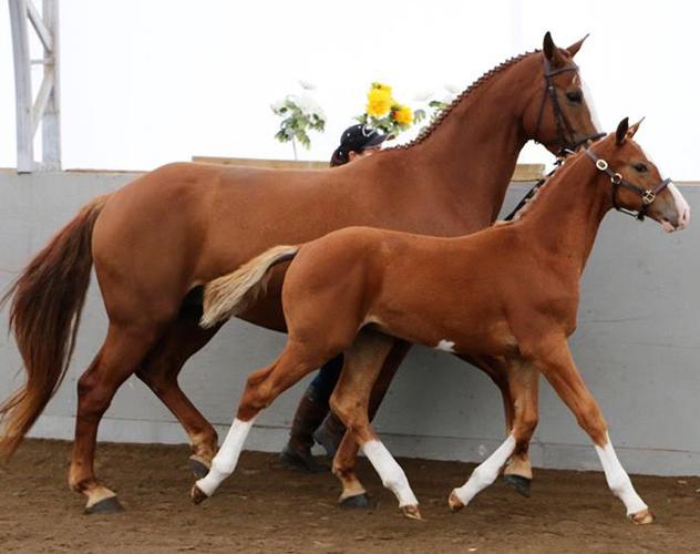 Cabardino stallion x Prototype