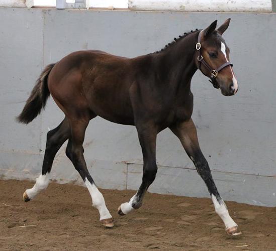 Prototype stallion alla czar